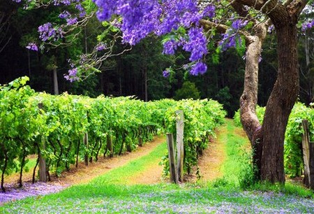 Bago Vineyards - Accommodation Mt Buller
