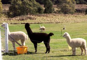 Maydena Country Cabins Accommodation  Alpaca Stud - Accommodation Mt Buller