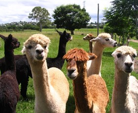 Banyandah Alpacas - Accommodation Mt Buller