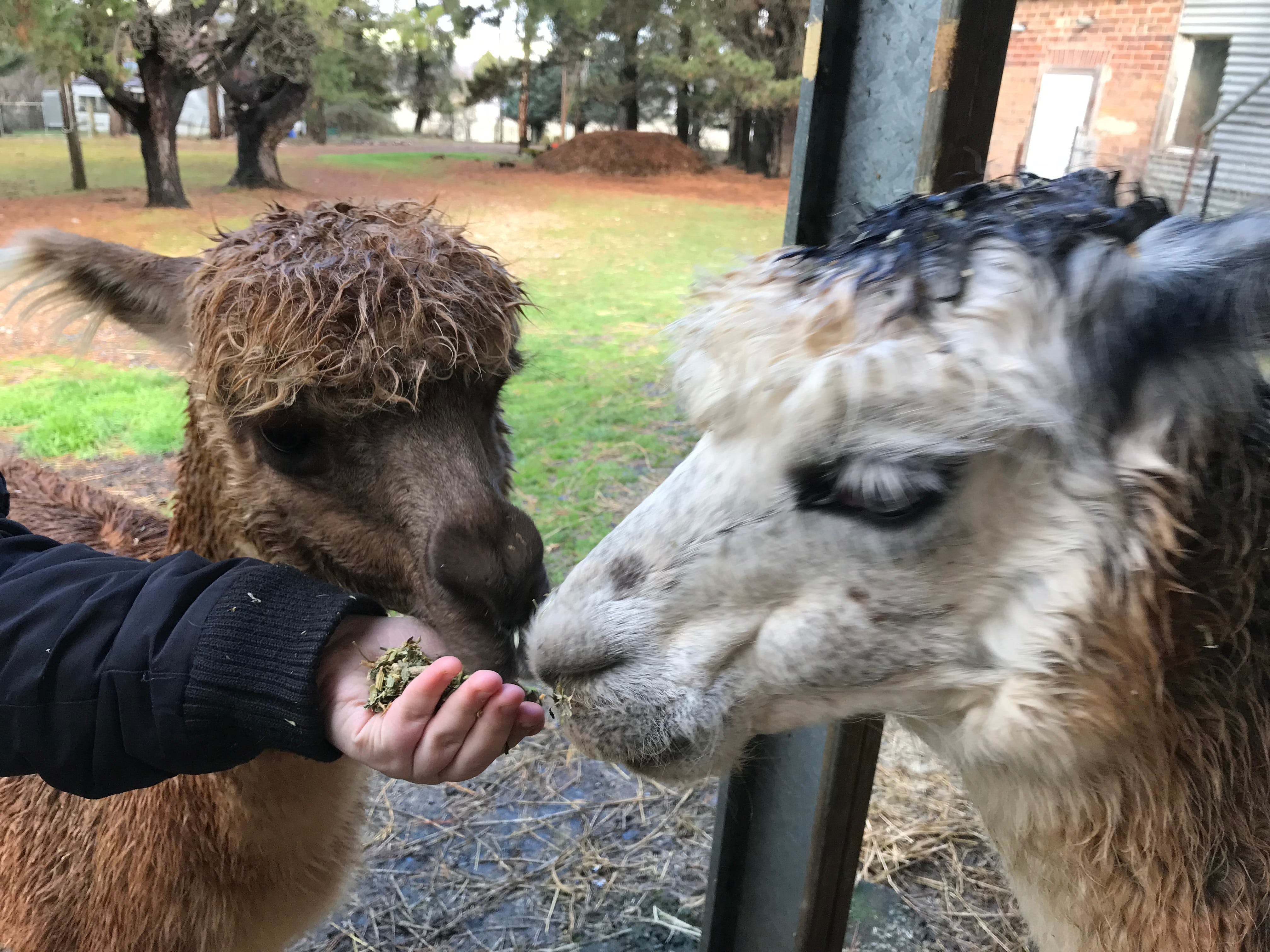 Alpaca Farm Experience at Crookwell - Accommodation Mt Buller