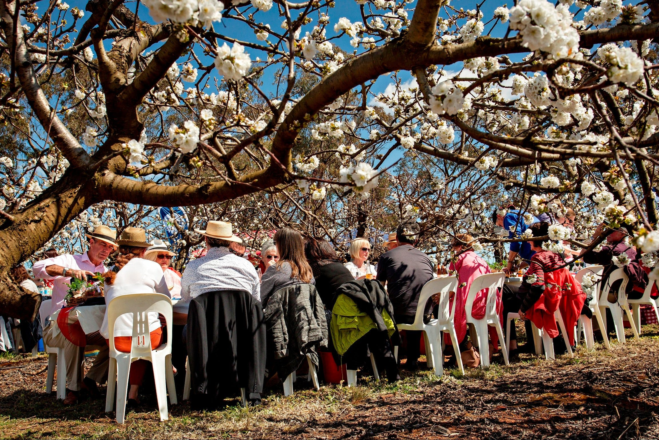 Young Cherry Blossom Long Lazy Lunch - Accommodation Mt Buller